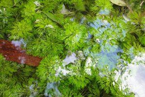 Limnophila heterophylla heterophylla